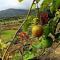 Passionfruit On The Vine With A View Of The Valley   Maui by J R Stern