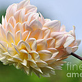 Pastel Dahlia by Kaye Menner