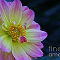 Pastel Dahlia by Susan Herber