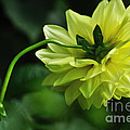 Pastel Lemon Dahlia 2 by Kaye Menner