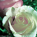 Pastel Pink And White Rose by Femina Photo Art By Maggie