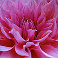 Pastel Pink Dahlia by Susan Herber