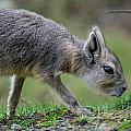 Patagonian Cavy Youngin by Greg Nyquist