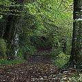 Path Through The Woods Inistioge by Trish Punch