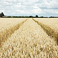 Paths Carved In Field Of Tall Wheat by Robin James