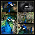 Pavo Cristatus IIi The Heart Of Solitude  - Indian Blue Peacock  by Sharon Mau