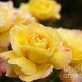 Peace Rose 2 by John Chatterley
