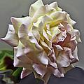 Peace Rose by Dennis Hofelich
