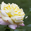 Peace Rose by Kathy Clark