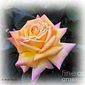Peace Rose by Norma Boeckler