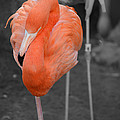 Peaceful Flamingo by Maggy Marsh