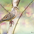 Peaceful Mourning Dove by Bonnie Barry