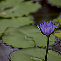 Peaceful Waterlily by Garry Gay