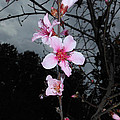 Peach Blooms by Donna Brown
