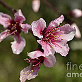 Peach Blossom Clusters by Donna Brown