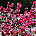 Peach Blossom by Kaye Menner