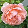 Peach Peony Flower by P S