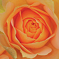 Peach Rose by Dave Mills