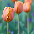 Peach Tulips  Square Format by Bill Swindaman