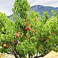 Peaches On Tree by Elena Elisseeva