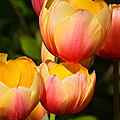 Peachy Tulips by Byron Varvarigos