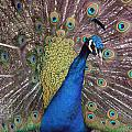 Peacock - 0011 by S and S Photo