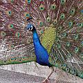 Peacock - 0013 by S and S Photo