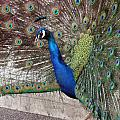 Peacock - 0014 by S and S Photo