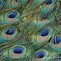 Peacock 6 by Patty Vicknair