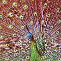Peacock Bloom by Paul Svensen