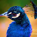 Peacock Blue by Adam Jewell