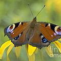 Peacock Butterfly by Jacky Parker