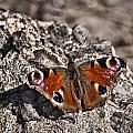Peacock Butterfly by Steve Purnell