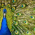Peacock by Chris ODonoghue