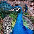 Peacock by Diva Jackson