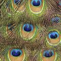 Peacock Feather Eyes by Frank Wilson
