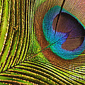 Peacock Feather by Kaye Menner