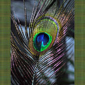 Peacock Feather Ll by Daryl Macintyre