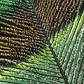 Peacock Feather by Steve Taylor