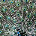 Peacock Feathers 3 by Patty Vicknair