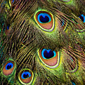 Peacock Feathers by Navid Baraty / Getty Images