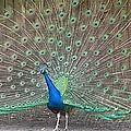 Peacock Finery On Display by Jeanne Kay Juhos