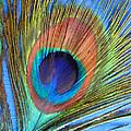 Peacock Glory by Kathy Clark