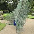 Peacock Glory by Nick Field