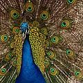 Peacock Glow by Phil Huettner