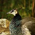 Peacock by Linda Tiepelman