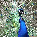 Peacock by Living Color Photography Lorraine Lynch