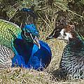 Peacock Love by Cheryl Cencich