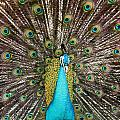 Peacock Plumage Feathers by Terry Fleckney