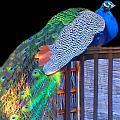 Peacock Poses by Vijay Sharon Govender